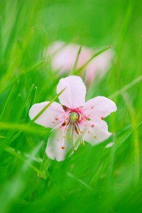 Pale Pink Blossom in Grass