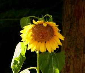 The Sad Sunflower