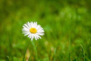 Solitude Daisy